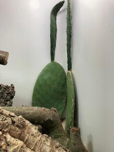 bartagamen pflanze