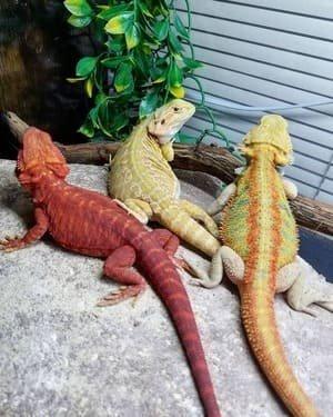 bartagame farbvarianten